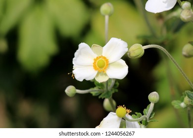 Japanese anemone or Anemone hupehensis or Thimbleweed or Windflower or Chinese anemone or Anemone hybrida flowering plant with flower containing white sepals and prominent yellow stamens