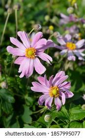 Japanese anemone Pretty Lady Emily - Latin name - Anemone * hybrida Pretty Lady Emily
