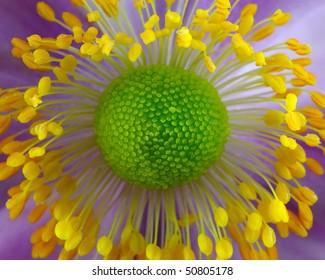 Japanese Anenome (Ranunculaceae) - Macro