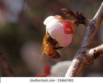 Japanese apricot and Bee