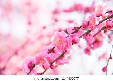 (Japanese apricot), Chinese plum, Pink Plum blossom, photo blurred