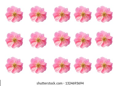 (Japanese apricot), Chinese plum, Pink Plum blossom, isolated in white background, photo blurred