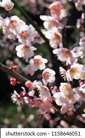 Japanese apricot   Chinese plum   Prunus mume Osaka castle park