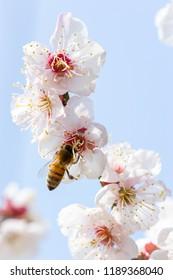 Japanese apricot flower
