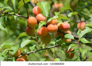Japanese apricot fruits