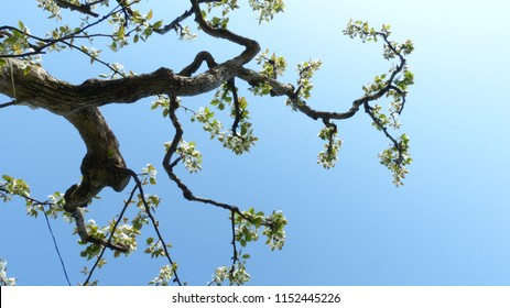 Japanese apricot tree and flower