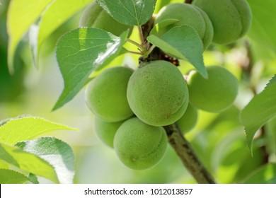 Japanese apricot, ume