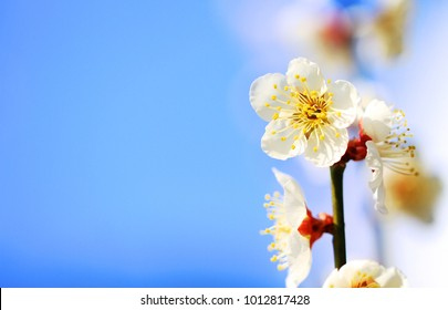 Japanese Apricot(Plum Blossom) full blooming with bright blue sky background closeup / macro shot 1 - Located in The Plum Grove of Minabe Wakayama Prefecture, is one of early Spring feature in Japan.