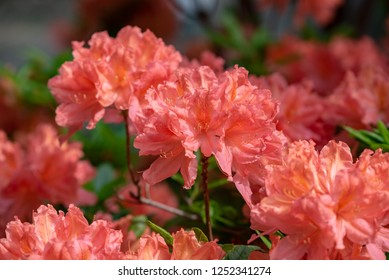 Japanese azalea flower