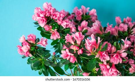 Fotos Imagenes Y Otros Productos Fotograficos De Stock Sobre Azalea Japonica Shutterstock