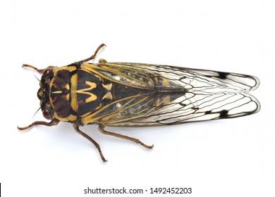 Japanese beautiful  cicada.  Lyristes bihamatus