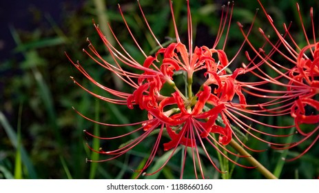 Japanese beautiful Lycoris radiata Lily spider