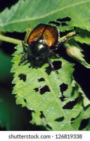 Japanese Beetle destroying a plant leaf