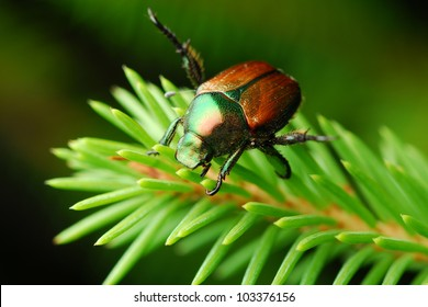 Japanese beetle on tree (Popillia japonica)