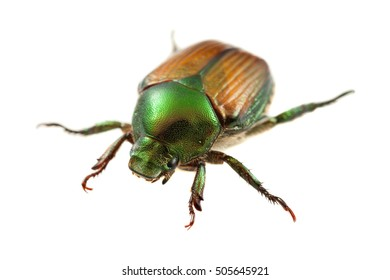 Japanese beetle on white background.  Photographed in Virginia, USA.