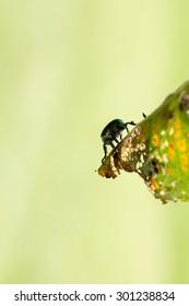 Japanese Beetle Popillia japonica on fruit tree leaf.