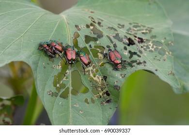 Japanese Beetle Popillia japonica  on sweet potato leaf