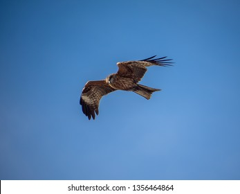 A Japanese black kite circles over the beaches of Fujisawa on the Sagami Bay. In Japan, these large hawk-like birds are notorious for stealing food from beach goers.