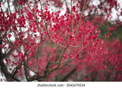 Japanese Blossoming plum