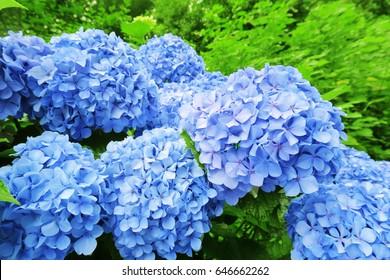 japanese blue hydrangea