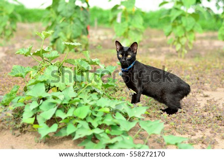 japanese bobtail black cat