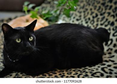 Japanese bobtail black cat on sofa