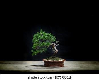 japanese bonsai Dragon style