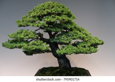 Japanese Bonsai Plant - Japanese styled garden