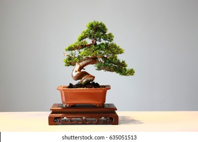 Japanese bonsai for show