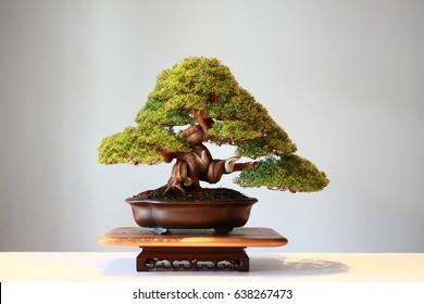 Japanese bonsai showcase