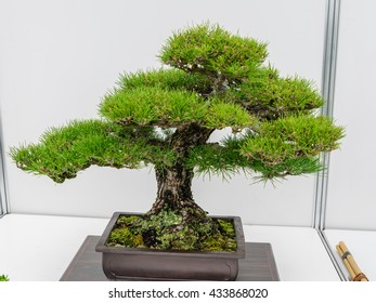 Japanese bonsai tree