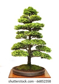 Japanese bonsai tree, isolated on white.