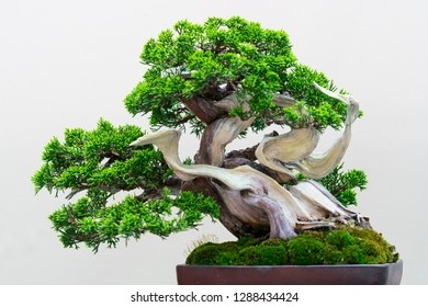 The Japanese bonsai tree in a pottery pot.