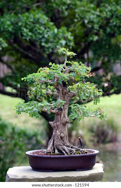 A Japanese bonsai tree shown directly in front of a full sized tree of the same kind.