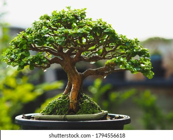 Japanese Bonsai Tree Style, Bonsai is an art and wonderful way to relax after a hard days work, Small Bonsai Tree Gardening Concept.