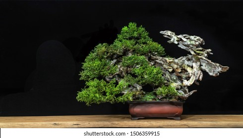 Japanese bonsai tree style used for decoration. Bonsai is used to decorate the shop. Japanese bonsai tree on a black back wooden floor.