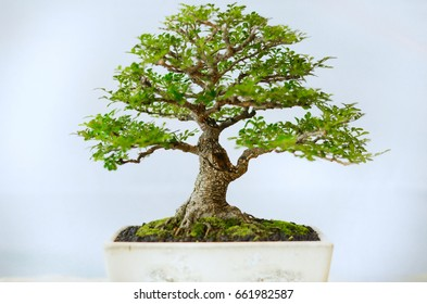 japanese bonsai tree in white background