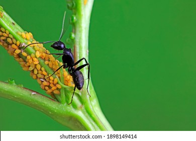 The Japanese bowback ant beats aphids and sucks the honeydew secreted by aphids