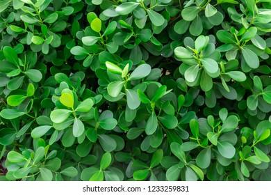 Japanese boxwood (Buxus microphylla) - Pembroke Pines, Florida, USA