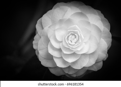 "Japanese camellia. Black & White. Camellia is native to China. It represents the union between two lovers. Also a highly respected flower in Japan. In Latin, camellia means ""helper to the priest""."
