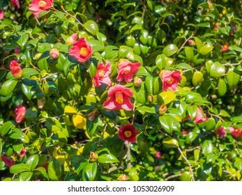 Japanese camellia (Camellia japonica) is one of the best known species of the genus Camellia.