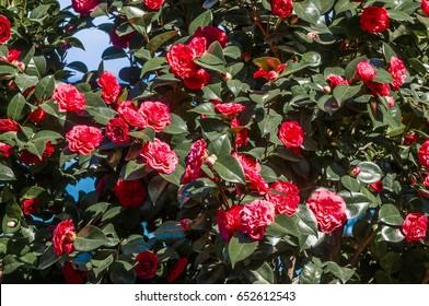Japanese Camellia (Camellia japonica) Sanatorium Aivazovsky, Partenit, Crimea
