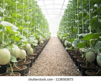 Japanese Cantaloupe Melon farm row path on sunlight and hanging in farm