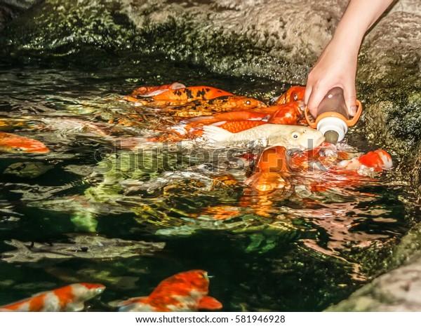 Japanese carp. Feeding from a baby bottle.