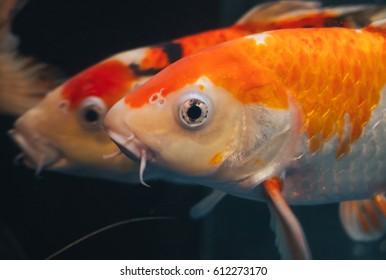 Japanese carp in a home aquarium