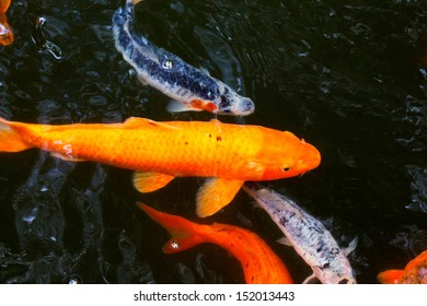 Japanese carps in the pond