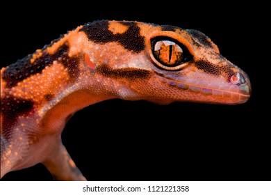 The Japanese Cave Gecko (Goniurosaurus orientalis). They are endemic to four small islands (Tonakijima, Tokashikijima, Iejima and Akajima) of the Okinawa Group, the Ryukyu Archipelago, Japan