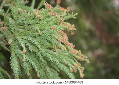A Japanese cedar flowers that fly pollen in spring