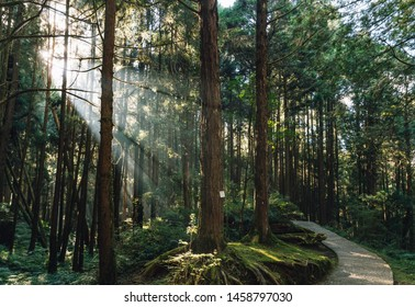 Japanese Cedar trees in the forest with through sunlight ray in Alishan National Forest Recreation Area in Chiayi County, Alishan Township, Taiwan.