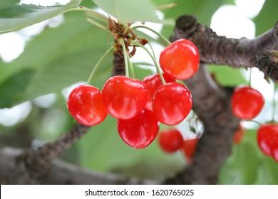 Japanese cherries that grow beautifully